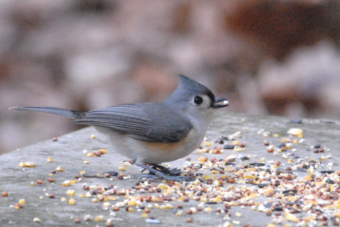 Gray-colored Birds - Birds in the Yard